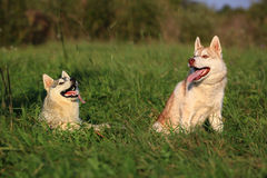 σκυλιά δύο Γεροδεμένος και Malamute Στοκ εικόνα με δικαίωμα ελεύθερης χρήσης