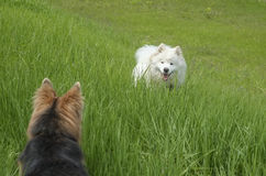 σκυλιά δύο Στοκ Φωτογραφίες