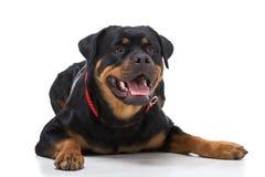 σκυλιά Στοκ Εικόνες