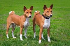 σκυλιά bassengi Στοκ Εικόνες