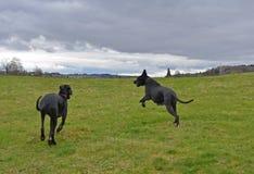 Σκυλιά playng Στοκ φωτογραφία με δικαίωμα ελεύθερης χρήσης