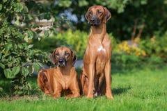 Σκυλιά Rhodesian ridgeback υπαίθρια στοκ εικόνα με δικαίωμα ελεύθερης χρήσης