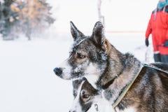 Σκυλιών στο Lapland Στοκ Εικόνες