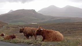 Σκωτσέζικα βοοειδή ορεινών περιοχών δίπλα στον ενιαίο δρόμο διαδρομής στο νησί της Skye - της Σκωτίας φιλμ μικρού μήκους
