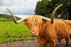 Σκωτσέζικα βοοειδή ορεινών περιοχών στο λιβάδι Στοκ Φωτογραφία