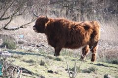 Σκωτσέζικα βοοειδή ορεινών περιοχών στο μικρό πάρκο σε Hoogvliet στο harbo Στοκ Φωτογραφία