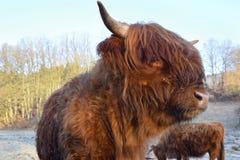Σκωτσέζικα βοοειδή ορεινών περιοχών Στοκ φωτογραφία με δικαίωμα ελεύθερης χρήσης