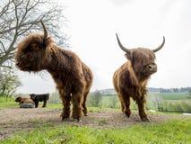 Σκωτσέζικα βοοειδή ορεινών περιοχών Στοκ εικόνες με δικαίωμα ελεύθερης χρήσης