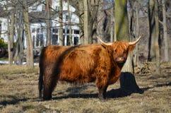 Σκωτσέζικα βοοειδή που στέκονται στο λιβάδι με την άσπρη αγροικία στο dist Στοκ φωτογραφία με δικαίωμα ελεύθερης χρήσης