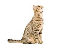 Σκωτσέζικα ευθέα sniffs γατών Στοκ φωτογραφία με δικαίωμα ελεύθερης χρήσης