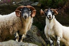 Σκωτσέζικα πρόβατα blackface Στοκ Εικόνες
