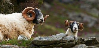 Σκωτσέζικα πρόβατα blackface Στοκ Εικόνα
