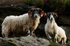 Σκωτσέζικα πρόβατα blackface Στοκ εικόνα με δικαίωμα ελεύθερης χρήσης