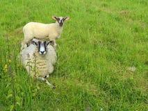 Σκωτσέζικα πρόβατα blackface Στοκ Φωτογραφίες