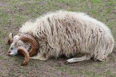 Σκωτσέζικα πρόβατα, Ovis aries, που κοιμούνται σε ένα λιβάδι Στοκ φωτογραφία με δικαίωμα ελεύθερης χρήσης