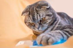 Σκωτσέζικες έξυπνου πτυχές παιχνιδιού γατών σε ένα smartphone στοκ εικόνα με δικαίωμα ελεύθερης χρήσης
