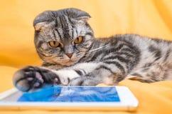 Σκωτσέζικες έξυπνου πτυχές παιχνιδιού γατών σε ένα smartphone στοκ εικόνα