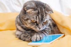 Σκωτσέζικες έξυπνου πτυχές παιχνιδιού γατών σε ένα smartphone στοκ φωτογραφίες