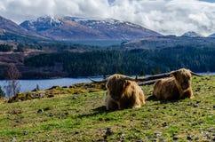 Σκωτσέζικες αγελάδες βόειου κρέατος του Angus στοκ εικόνα