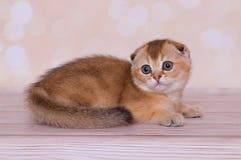 σκωτσέζικες κόκκινου πτυχές χρώματος γατακιών στοκ εικόνες