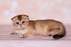Σκωτσέζικες κόκκινου πτυχές χρώματος γατακιών στοκ φωτογραφίες