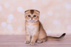 Σκωτσέζικες κόκκινου πτυχές χρώματος γατακιών στοκ φωτογραφία