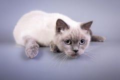 Σκωτσέζικες μικρού χαριτωμένου γατακιών μπλε πτυχές λευκού colorpoint Στοκ Εικόνα