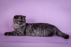 Σκωτσέζικες μικρού χαριτωμένου 4 monts γατακιών μαύρου πτυχές χρώματος καπνού Στοκ φωτογραφία με δικαίωμα ελεύθερης χρήσης