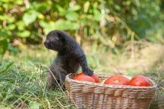 Σκωτσέζικες νέες γατάκι και ντομάτες πτυχών Στοκ εικόνα με δικαίωμα ελεύθερης χρήσης