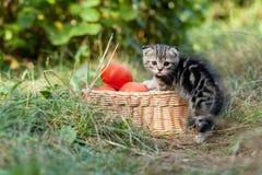 Σκωτσέζικες νέες γατάκι και ντομάτες πτυχών Στοκ φωτογραφίες με δικαίωμα ελεύθερης χρήσης