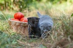 Σκωτσέζικες νέες γατάκι και ντομάτες πτυχών Στοκ Εικόνες