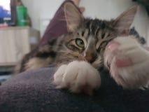 σκωτσέζικες νεολαίες γατακιών πτυχών διασταύρωσης Στοκ Εικόνες