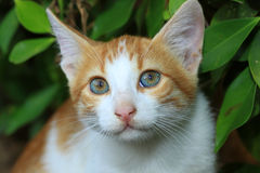 σκωτσέζικες νεολαίες γατακιών πτυχών διασταύρωσης Στοκ Φωτογραφίες