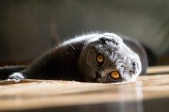 Σκωτσέζικες πτυχές να βρεθεί γατών Στοκ εικόνες με δικαίωμα ελεύθερης χρήσης