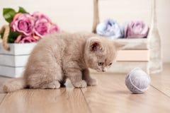 Σκωτσέζικες πτυχές παιχνιδιού γατακιών με μια σύγχυση των νημάτων στοκ εικόνες με δικαίωμα ελεύθερης χρήσης