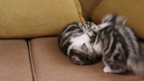 Σκωτσέζικες πτυχές παιχνιδιού γατών πτυχών γατακιών σκωτσέζικες και σκωτσέζικος ευθύς φιλμ μικρού μήκους