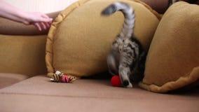 Σκωτσέζικες πτυχές παιχνιδιού γατών πτυχών γατακιών σκωτσέζικες και σκωτσέζικος ευθύς απόθεμα βίντεο