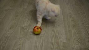 Σκωτσέζικες πτυχές παιχνιδιού γατακιών με το μήλο απόθεμα βίντεο