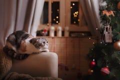 Σκωτσέζικες πτυχές φυλής γατών, Χριστούγεννα και νέο έτος Στοκ φωτογραφία με δικαίωμα ελεύθερης χρήσης
