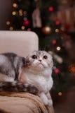 Σκωτσέζικες πτυχές φυλής γατών, Χριστούγεννα και νέο έτος Στοκ εικόνες με δικαίωμα ελεύθερης χρήσης