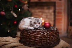 Σκωτσέζικες πτυχές φυλής γατών, Χριστούγεννα και νέο έτος Στοκ Εικόνες