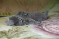 Σκωτσέζικες πτυχές ύπνου γατών στον καναπέ στοκ εικόνες