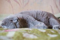 Σκωτσέζικες πτυχές ύπνου γατών στον καναπέ στοκ εικόνα