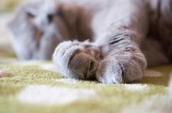 Σκωτσέζικες πτυχές ύπνου γατών στον καναπέ στοκ φωτογραφίες