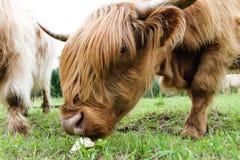 Σκωτσέζικη αγελάδα που τρώει το ψωμί Στοκ Εικόνες