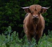 Σκωτσέζικη αγελάδα ορεινών περιοχών Στοκ φωτογραφία με δικαίωμα ελεύθερης χρήσης