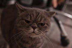 Σκωτσέζικη αστείαη γάτα Στοκ φωτογραφίες με δικαίωμα ελεύθερης χρήσης