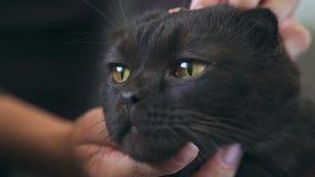 Σκωτσέζικη αυταράς γάτα: η θηλυκή γάτα χαδιού χεριών και γρατσουνίζει το πρόσωπό του απόθεμα βίντεο