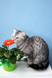 Σκωτσέζικη γάτα και κόκκινο λουλούδι Στοκ Εικόνες