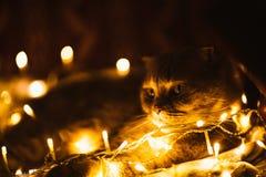 Σκωτσέζικη γάτα με τα φω'τα Χριστουγέννων στον καναπέ στοκ εικόνα
